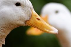ducks-English-Design-Studio-Raleigh-